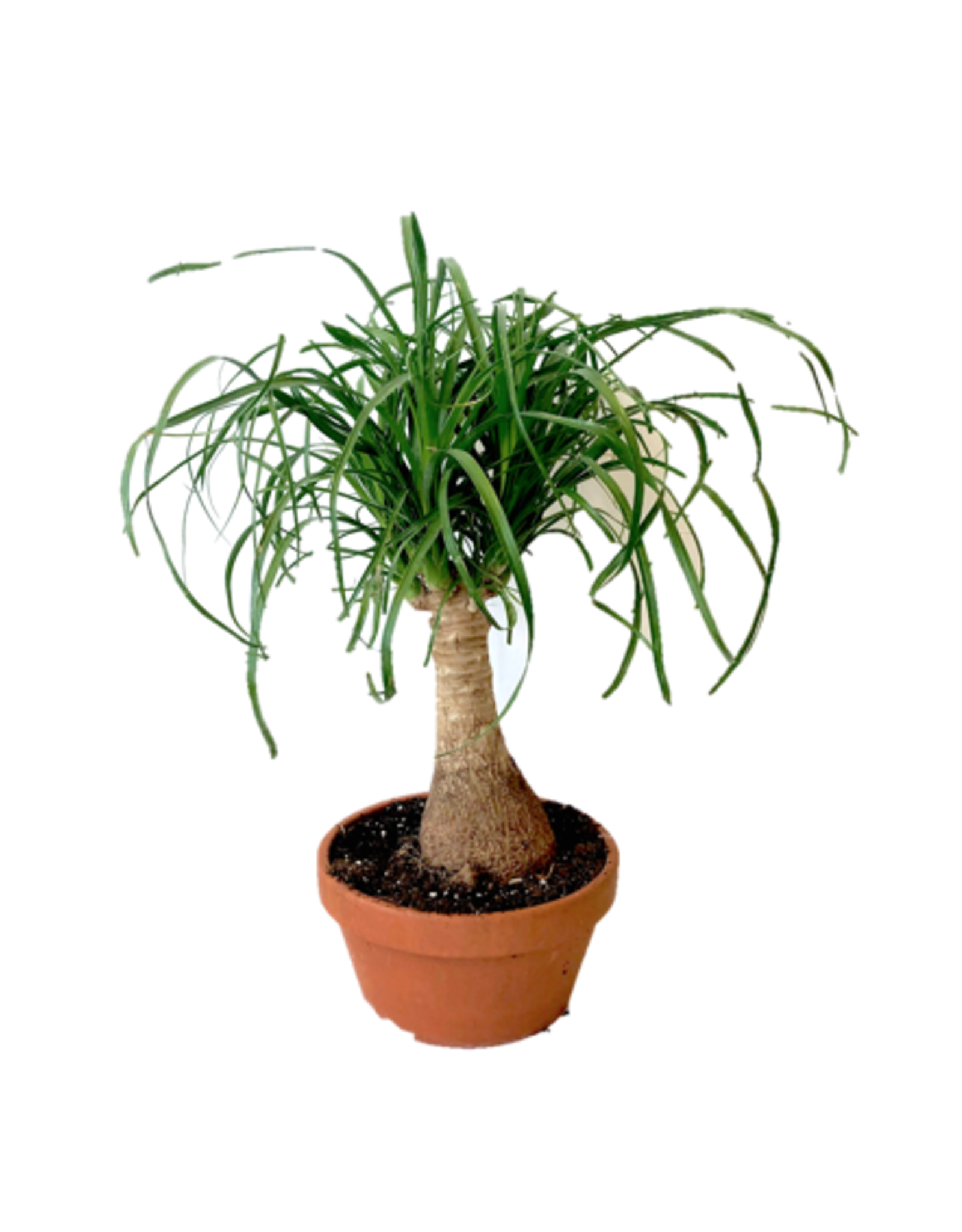 """AAL - Ponytail Palm in Clay Pot/7"""""""