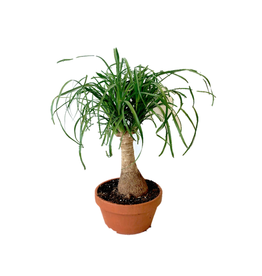 AAL - Ponytail Palm in Clay Pot/7""