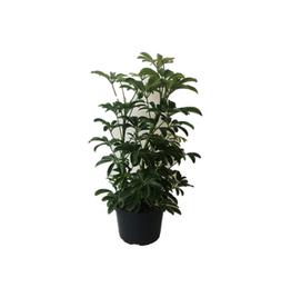 "AAL -  Mini Umbrella Tree/ Bush/6"""