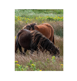 Aleyah Solomon - Photo Print/Flowy Mane Sable Island 8 x 10""