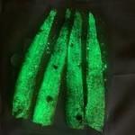 Big One Bait Company Big One Bait Company Frozen Alewife Strips Glow. 4pk