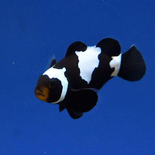 Phantom Clownfish