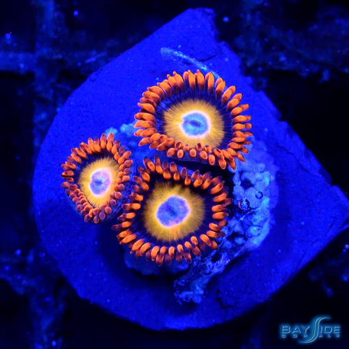 Blue Eye Blonde Zoanthid
