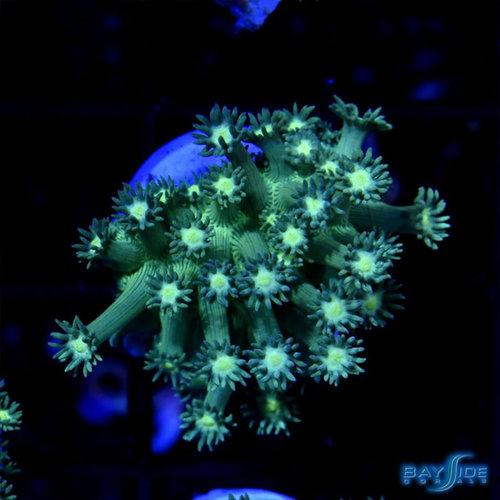 Green Goniopora S