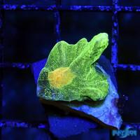 Tyree Space Invader Pectinia M