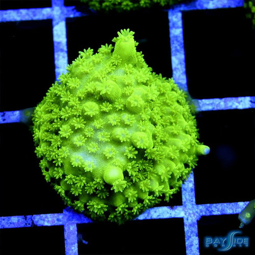Frogskin Acropora
