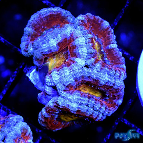 Ultra Acanthastrea S