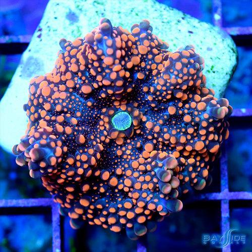 Blue Oxide Ricordea Yuma