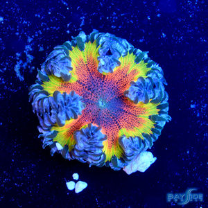 *CORAL* Rainbow Rock Flower Anemone (assorted)