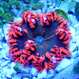 *CORAL* Ultra Rock Flower Anemone (assorted)