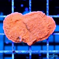 Red Montipora Cap M