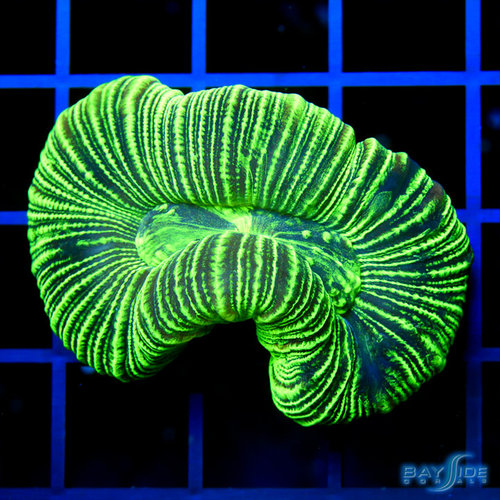 *CORAL* Kryptonite Trachyphyllia Open Brain S