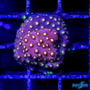 *CORAL* Cornbred Bling Bling Cyphastrea