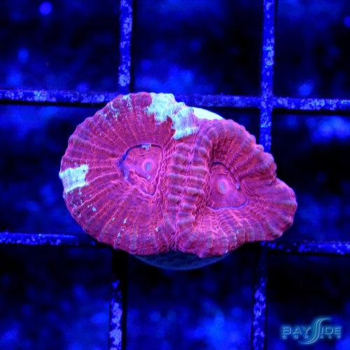 Red Favia