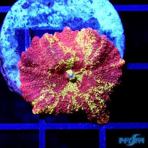 *WYSIWYG CORAL* Bleeding Gold Jawbreaker Mushroom Ultra