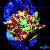 Bleeding Gold Jawbreaker Mushroom Ultra