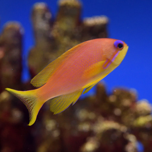 Lyretail Anthias Female