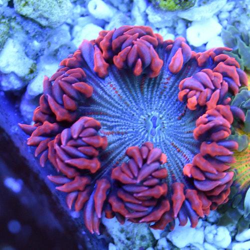 Premium Rock Flower