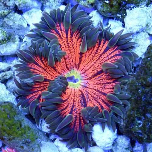 Assorted Ultra Rock Flower Anemone