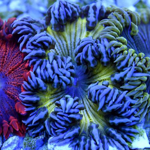 Assorted Premium Rock Flower Anemone