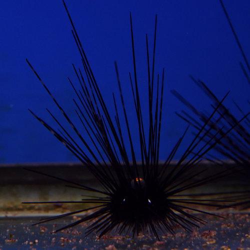 Longspine Black Urchin