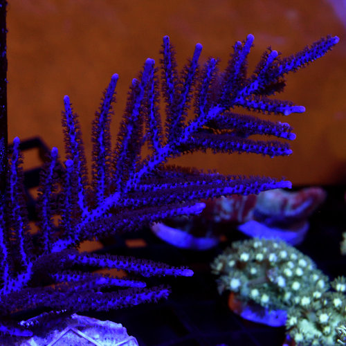 *CORAL* Purple Plume Gorgonian