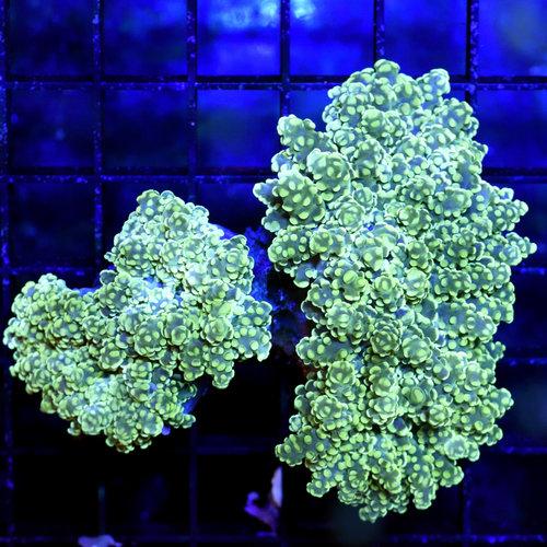 Green Nebula Branching Frogspawn M
