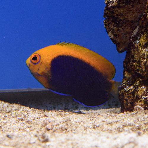 Flameback Angelfish