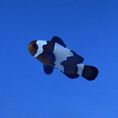 Phantom Clownfish