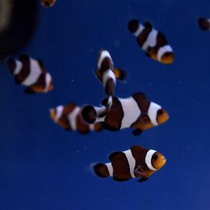 Mocha Clownfish