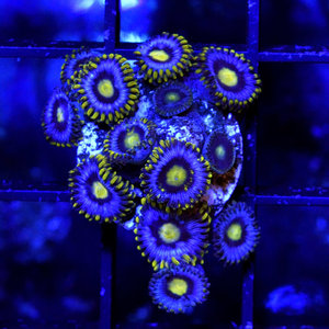 *CORAL* Blueberry Zoanthid