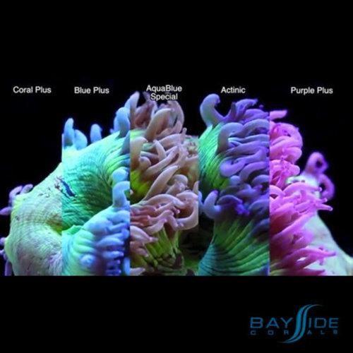 ATI ATI T5 Bulb 80W Coral Plus