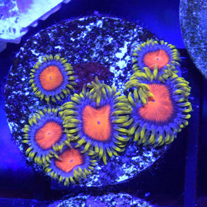 *CORAL* Dragon Eye Zoanthid