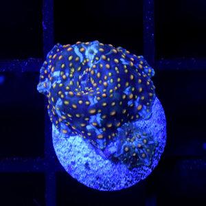 *CORAL* Blue Dreams Disco Mushroom