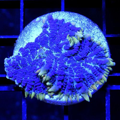 *CORAL* Juicy Blue Rhodactis Mushroom