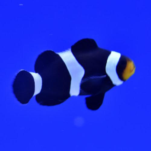 Black & White  Ocellaris Clownfish