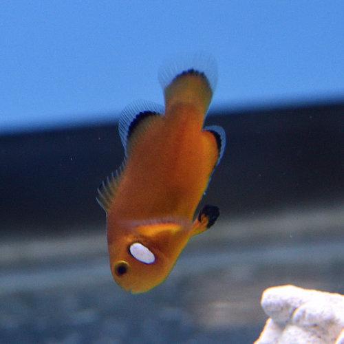 Nearly Naked Clownfish