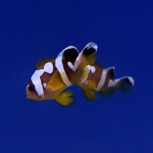 Spotcinctus Clarkii Clownfish