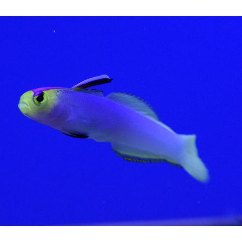 Helfrichi's Firefish
