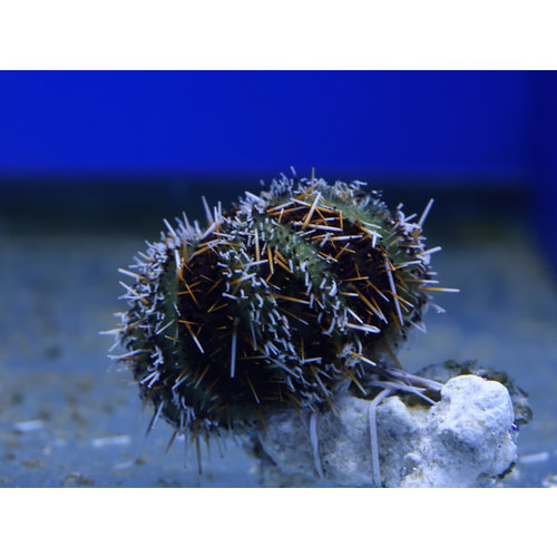 Multicolor Urchin