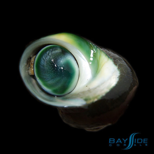 Cats Eye Turbo Snail