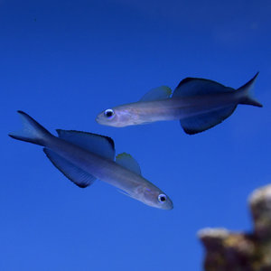 Scissortail Dartfish
