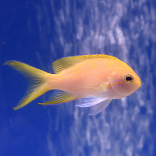 Square Spot Anthias Female