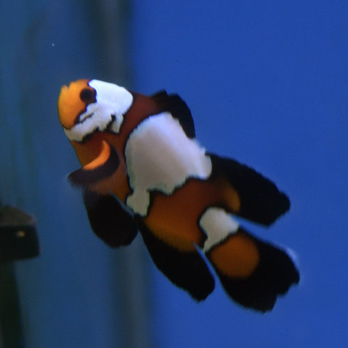 Ocellaris Mocha Misbar Longfin Clownfish