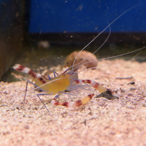 Blue Legged Banded Coral Shrimp