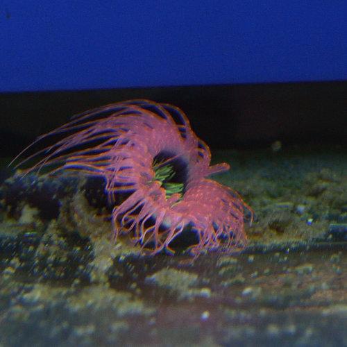 Orange/Pink Tube Anemone