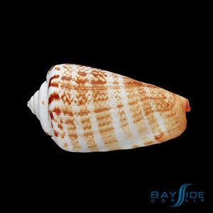 Orange Lip Conch