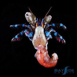 Metallic Blue Leg Hermit Crab