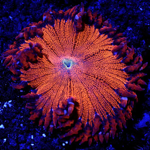 WYSIWYG Hot Tomale Rock Flower Anemone