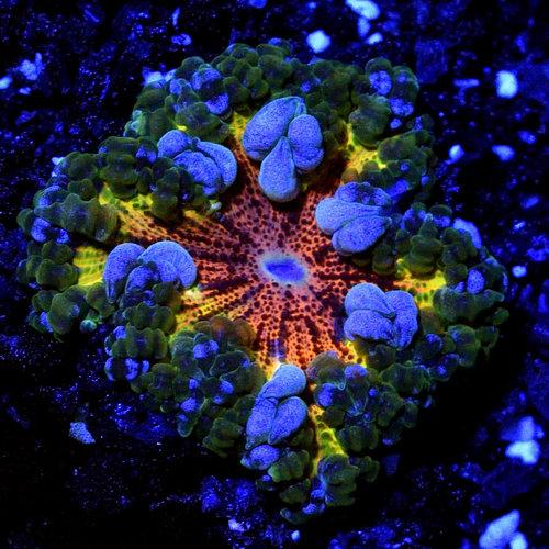 *WYSIWYG CORAL* Rainbow Rock Flower Anemone